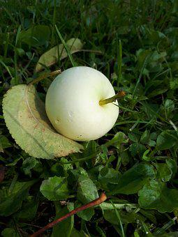 Latvia, Apple, Nature, Fruit, Plant, Season, Natural