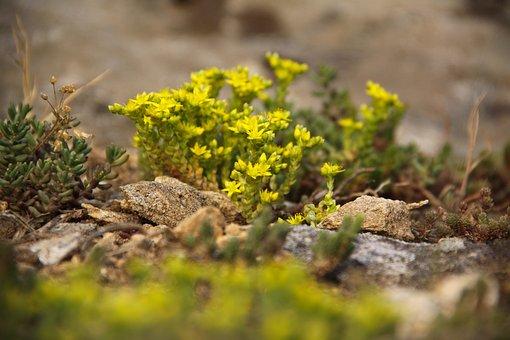 Sedum, Yellow, Plant, Nature, Flowers, Karg, Close Up