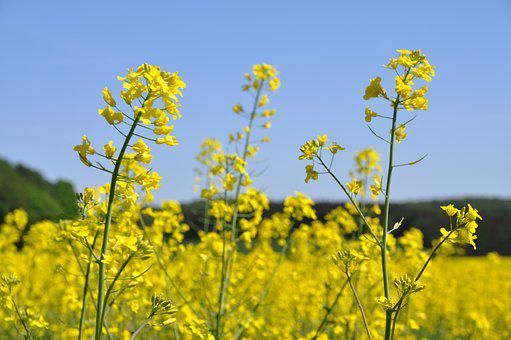 Oilseed Rape, Yellow, Field, Field Of Rapeseeds, Nature