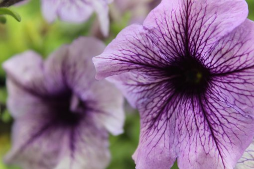 Flower, Ornamental Plant, Purple, Petunia, Pink, Garden