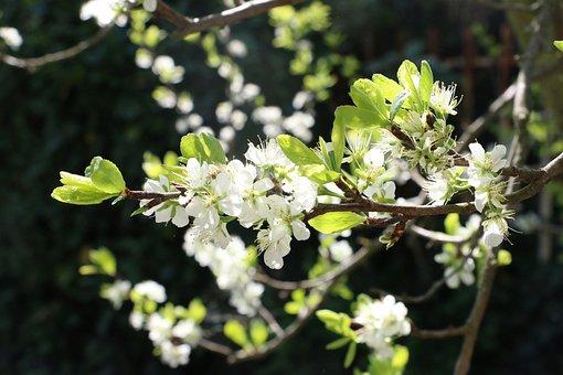 Nature, Spring, Bloom, Fruit, Faye, Plum, Petals