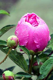 Flower, Peony, Pink, Garden, Flowering, Field