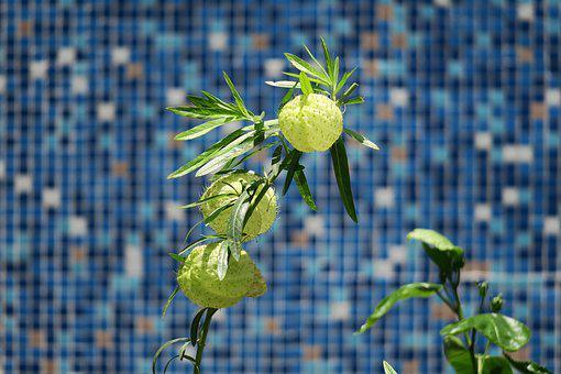Needle Ball, Nature, Plant, Garden, Leaf, Outdoor