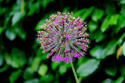 Ornamental Onion, Garden, Blossom, Bloom, Plant, Nature