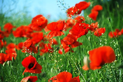 Poppies, Meadow, June, Flowers, Nature, Plant, Grass