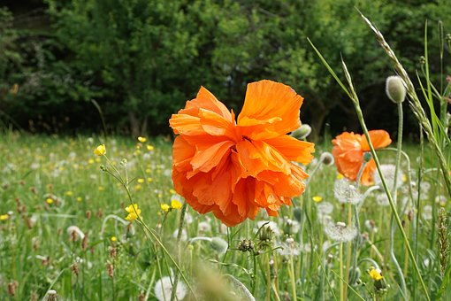Poppy Flower, Orange, Nature, Spring, Meadow