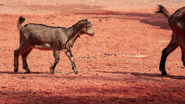 Goat, Africa, Cute, Young Animals, Quadruped, Zoo