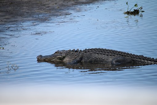 Florida, Gator, Alli, Alligator, Reptile, Wildlife
