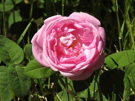 Tea Rose, Rose, Red, Red Rose, Roses, Flower