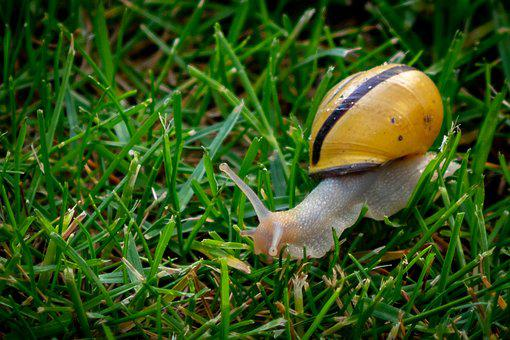 Copse Snail, Helicidae, Shell, Snail, Reptile, Mollusk