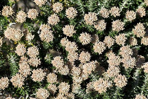 Flora, South Africa, Western Cape, Succulent, Bush