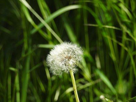 Dandelion, Spring, Summer Grass, Nature, Plant