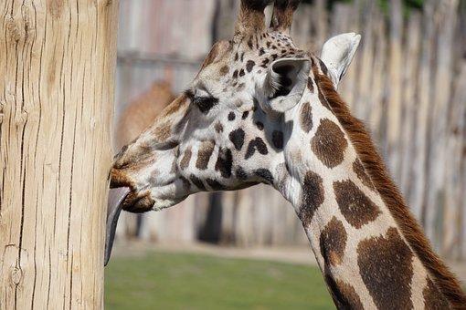 Giraffe, Tongue, Zoo, Cheeky, Wildlife Photography