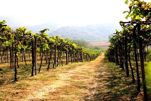 Vineyard, Agriculture, Wine, Nature, Vine, Farm