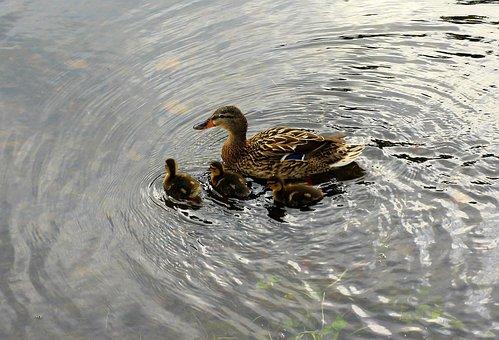 Mallard Duck, Wild Birds, Duck, Crossword, Water