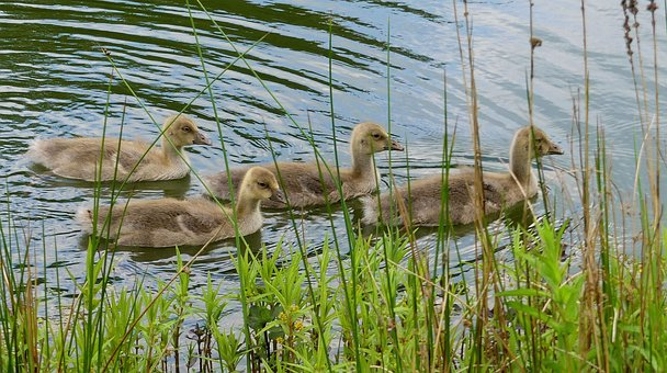 Ducks, Fluffy, Young, Waterfowl, Water, Cute