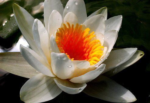 Lily, Water, Flower, Water Lilies, Water Plant