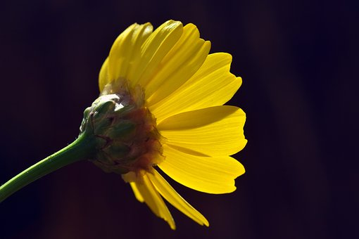 Flower, Yellow, Marguerite, Yellow Marguerites