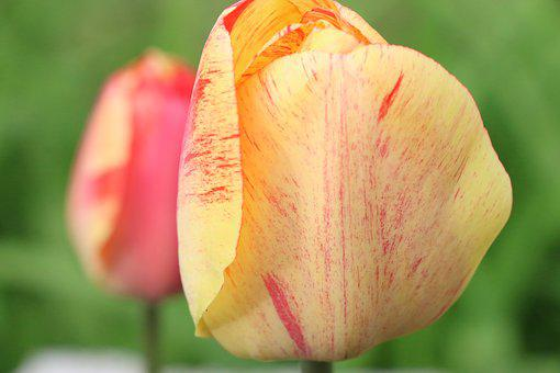 Tulips, Tulip, Flowers, Nature, Green, Colors, Yellow