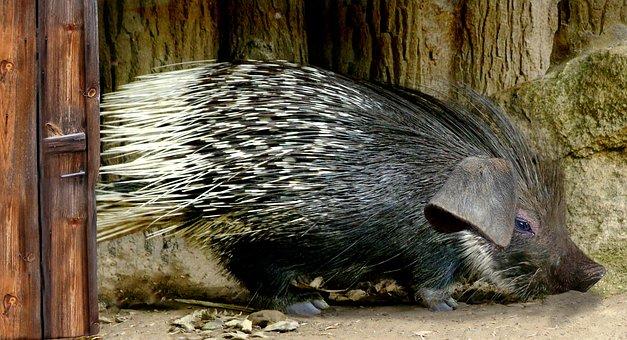 Porcupine, Sting, Digiart, Pig, Prickly, Animal, Nature