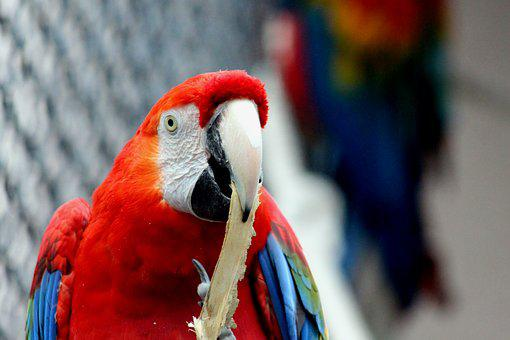Ara, Parrot, Red Macaw, Ara Macao, Bird, Animals