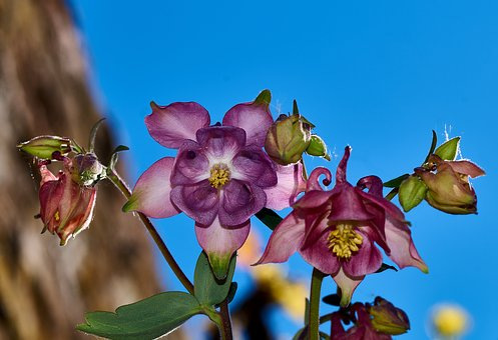 Blue, Blossom, Bloom, Flora, Common Akelei, Aquilegia