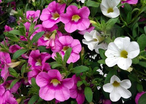 Petunia, Flower, Blossom, Bloom, Garden Petunia