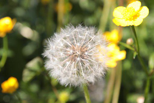 Dandelion, Buttercup, Spring, Yellow, Nature