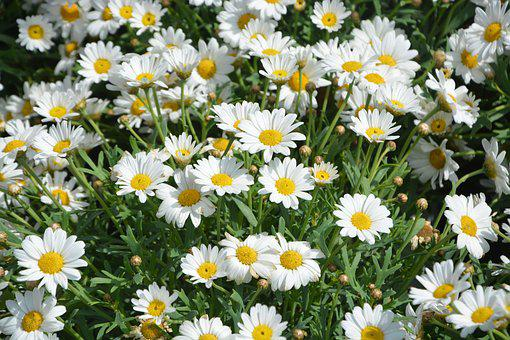 Daisies, White Traditional Daisies, Massif, Flowers