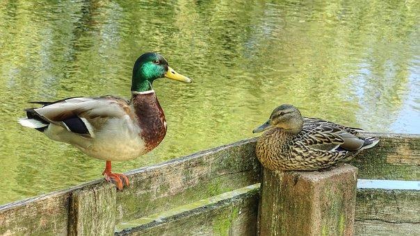 Ducks, Pair Of Ducks, Wild Ducks, Nature, Couple, Water