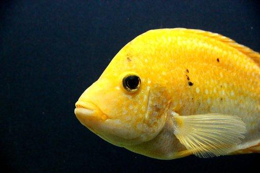 Cichlasoma, Fish, Cichlid, Cichlasoma Cittanova