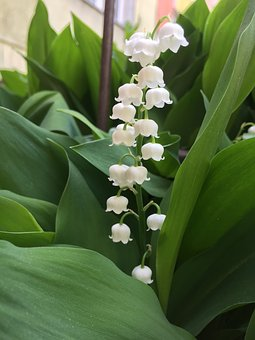 Lily Of The Valley, Spring, Flowers, Nature, Flora