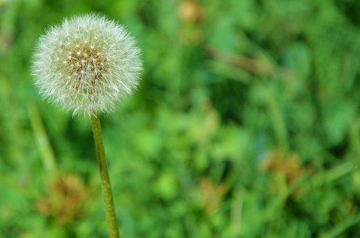 Flower, Natur, Dandelion, Spring, Floral, Blossom