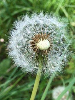 Flower, Dandelion, Nature, Pointed Flower, Close