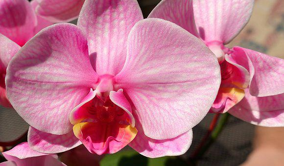 Orchid, Flower, Noble, Blossom, Bloom, Nature, Plant