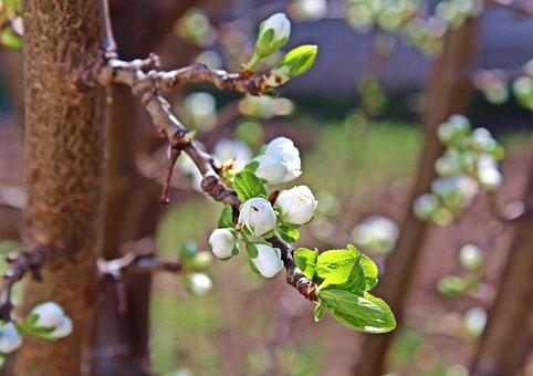 Flower, Cherry, March, Fruit, Pom, White Flower, Spring