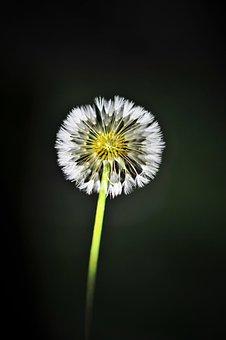 Dandelion, Mr Hall, Flowers, Danahham