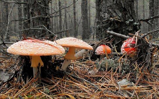 Mushrooms, Amanita, Forest, Poisonous Mushrooms