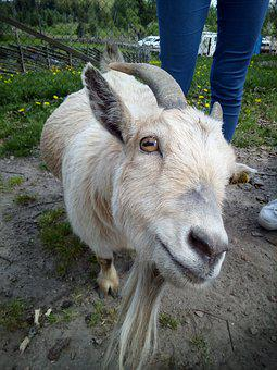 Scandimavia, Sweden, Animals, Safari, Goat