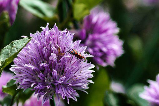 Flower, Chives, Herbs, Macro, Violet, Aromatics