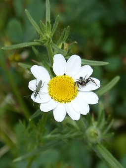 Daisy, Flower, Insects, Spider