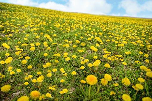 Dandelions, Spring, Yellow, Hill, Meadow, Field