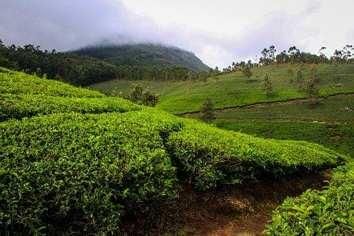 Munnar, India, Kerala, Tea Plantation, Tea, Nature