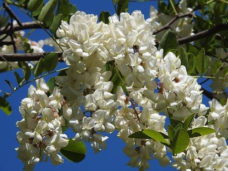 Blooming Acacia, Acacia, Spring, Nature, Flowering Tree