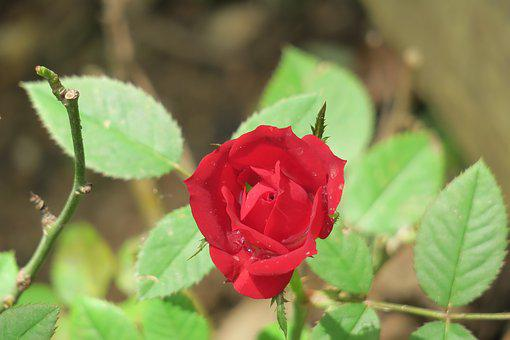 Flower, Nature, Plant, Garden, Leaf, Rose, Outdoor