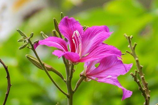 The Yips, Hong Kong, City Flower, Fuchsia, Nature