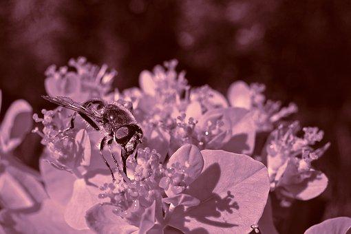 Honey Bee, Bee, Insect, Animal, Feeding, Nectar, Honey