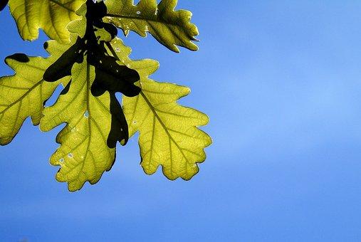 Oak, Leaves, Tree, Foliage, Nature, Season, Forest
