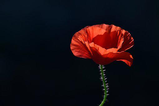 Poppy, Blossom, Bloom, Red Poppy, Back Light, Red
