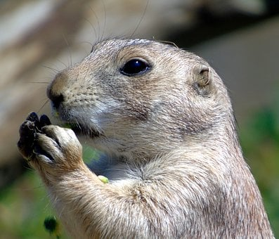 Prairie Dog, Animal, Prairie, Nature, Dog, Rodent